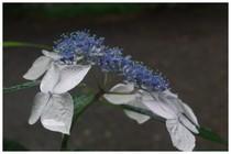 140628_紫陽花.jpg
