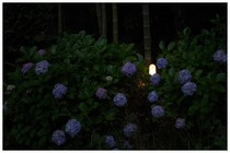 140713_紫陽花.jpg