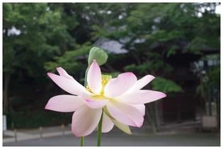 140721_弘法寺のハス.jpg