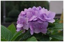 141013_紫陽花.jpg