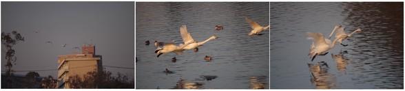 150125_白鳥たち.jpg