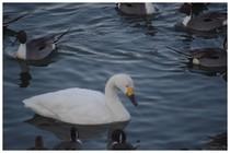 150207_白鳥.jpg