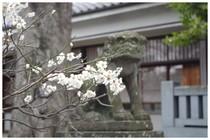 150314_白幡天神の狛犬.jpg