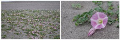 20150509_砂浜の花.jpg