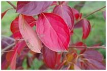 20151123_柿の紅葉.jpg