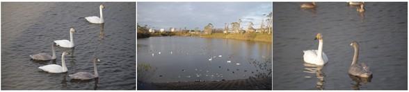 20151212_白鳥と池.jpg