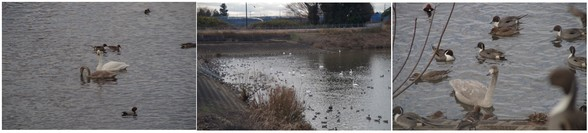 20151230_調整池の白鳥.jpg