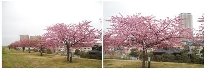 20160220_市川の桜堤.jpg