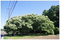 20170603_栗の木.jpg