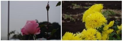 20171118_バラと菊.jpg