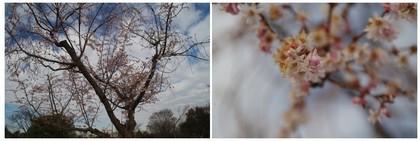20171222_十月桜.jpg