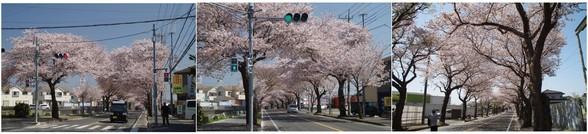 20180331_二和西桜並木.jpg