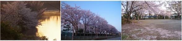 20180331_清水口の桜.jpg