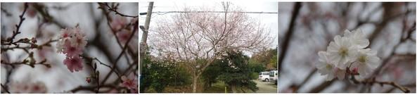 20181104_四季桜.jpg