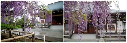 20190502_高円寺の藤.jpg