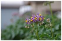 20190518_ジャガイモの花.jpg