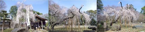 20200322_弘法寺の枝垂れ桜.jpg