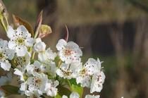 20200404_梨の花.JPG