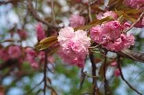 20200410_八重桜.JPG