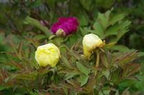 20200424_医王寺の黄色い花.JPG