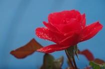 20200506_朝のバラ.JPG