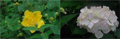20200527_梅雨時の花.jpg