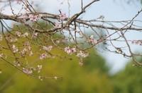 20201107_10月桜.JPG