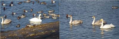 20201206_Swan.jpg