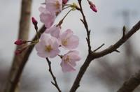 20210319_若い桜.JPG