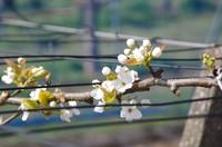 20210328_梨の花.JPG