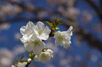 20210328_梨の花2.JPG