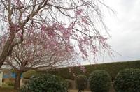 20210328_鎌ヶ谷市運動公園の枝垂れ桜.JPG