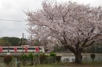 20210328_駐車場の桜.JPG