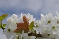 20210403_梨の花.JPG