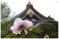 20210403_観音寺のボタン3.JPG
