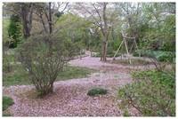 20210403_観音寺桜の花びら.JPG