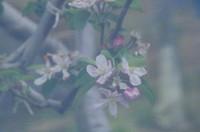 20210417_果樹の花.JPG